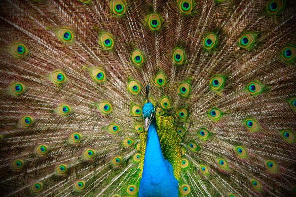 Pavão no Zoológico de Buenos Aires - Fui e Vou Voltar - Alessandro Paiva