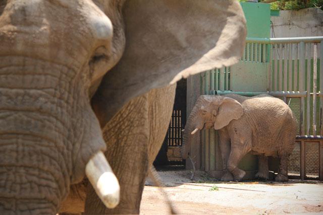 Elefantes, no zoológico de Santiago