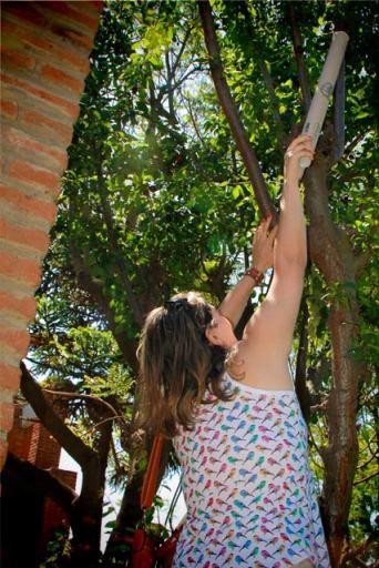 Macaca brasileira tenta pegar algumas ciruellas