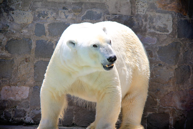 Urso polar, no zoológico de Santiago