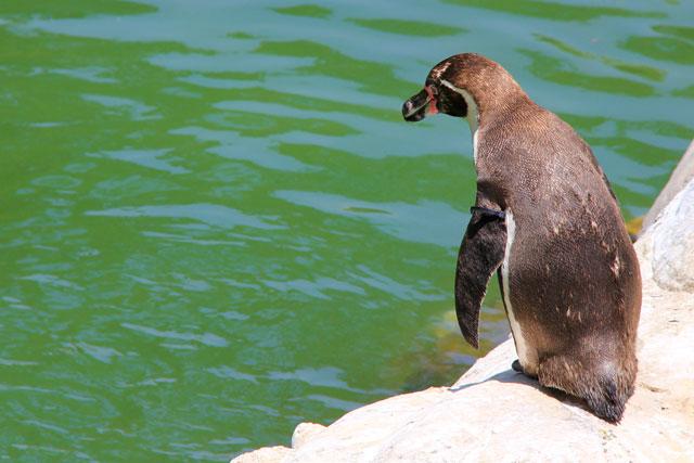 Pinguim, no zoológico de Santiago