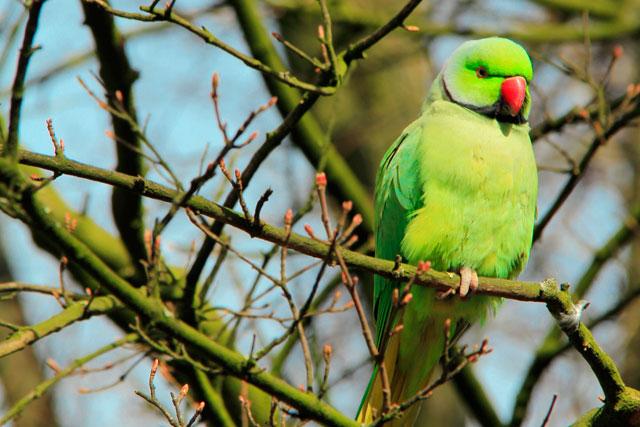 Papagaio selvagem, no Vondelpark