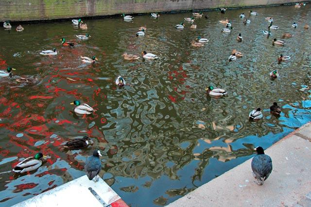 Patos nadam no canal da Oudezijds Achterburgwal