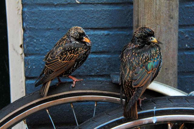 Estorninhos-comuns descansam nas bicicletas, na Albert Cuypstraat