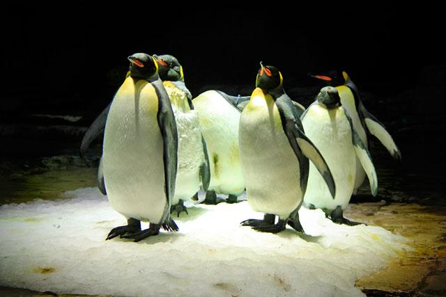 Pinguins do South Polar Spectacular, atração da área Polar Adventure