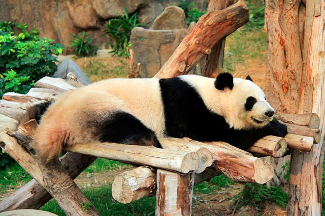 Panda gigante do Hong Kong Jockey Club Sichuan Treasures, no setor The Waterfront, Ocean Park