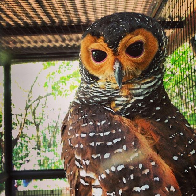 Coruja do Bird Park (via Instagram)