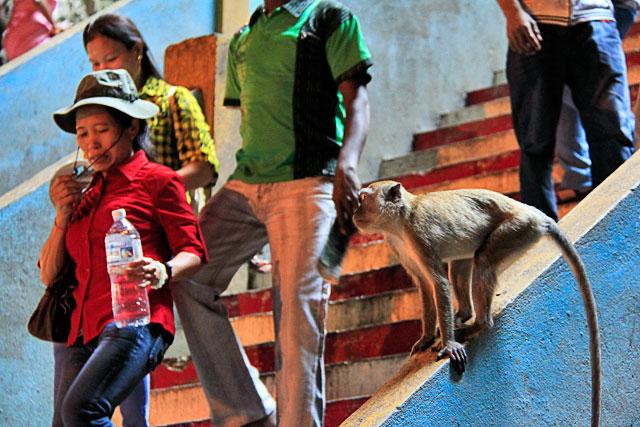 Macaco prepara-se para furtar sacola de turista, na Temple Cave