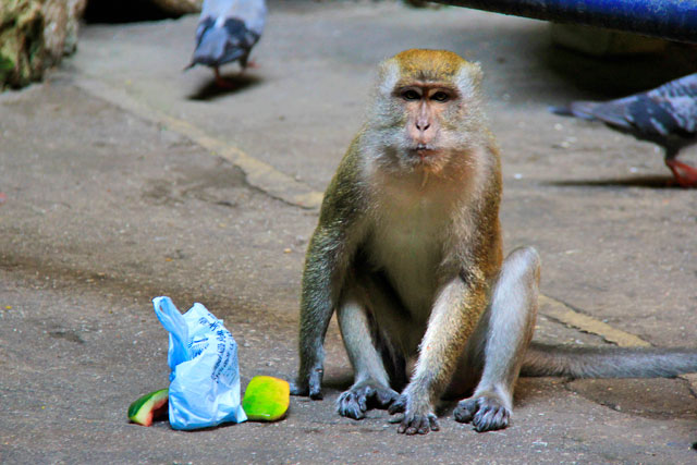Macaco rouba sacola de turista em Batu Caves