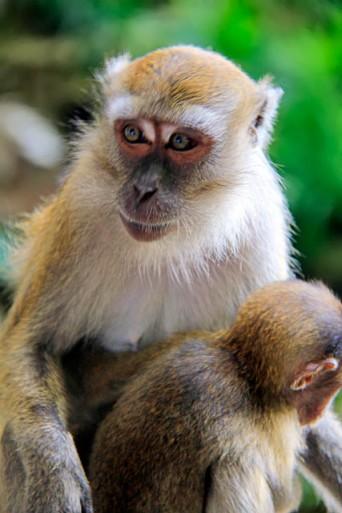 Macaca fascicularis com filhote, em Batu Caves