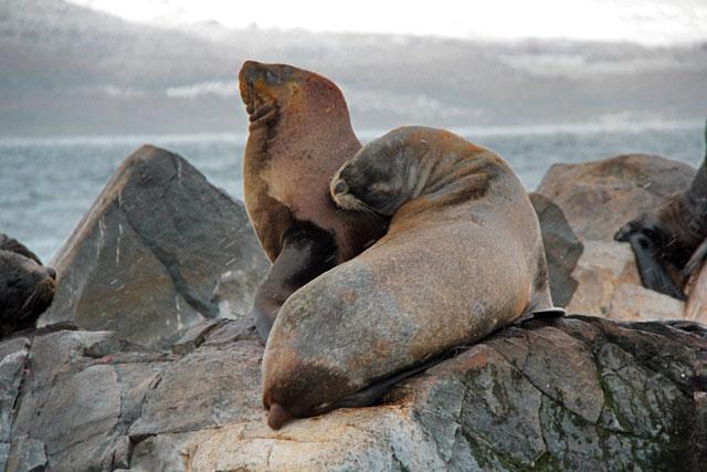 Lobos marinhos, na Isla de Los Lobos