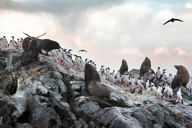 Lobos marinhos e biguás-das-shetland, na Isla de Los Lobos