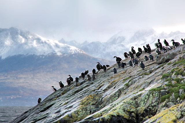 Biguás-das-shetland, no Faro Les Éclaireurs