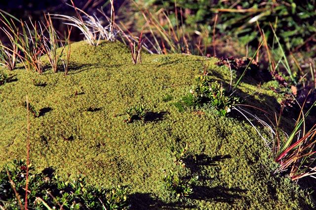 Bolax, vegetação preservada na Isla Bridges