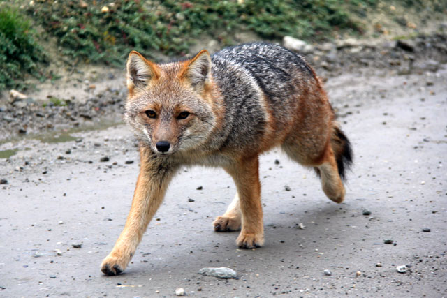 Raposa-colorada caminha pela Rota 3, no Parque Nacional Tierra del Fuego