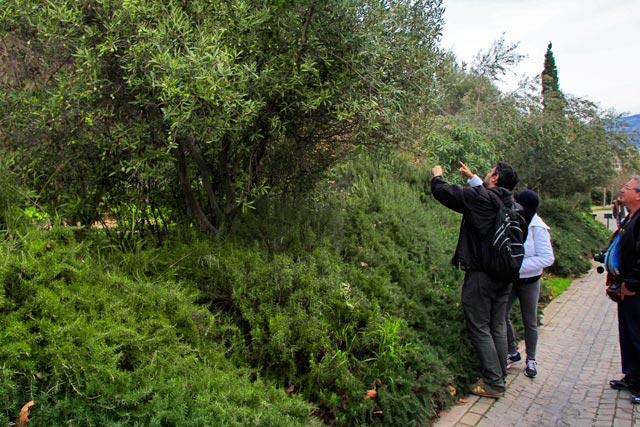 Élcio e minha mãe colhem azeitonas nas oliveiras da Rua Dionysiou Areopagitou